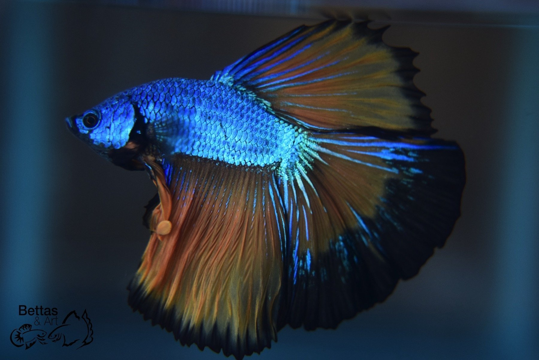 Imported Bettas & Accessories for Sale - Located in NYC