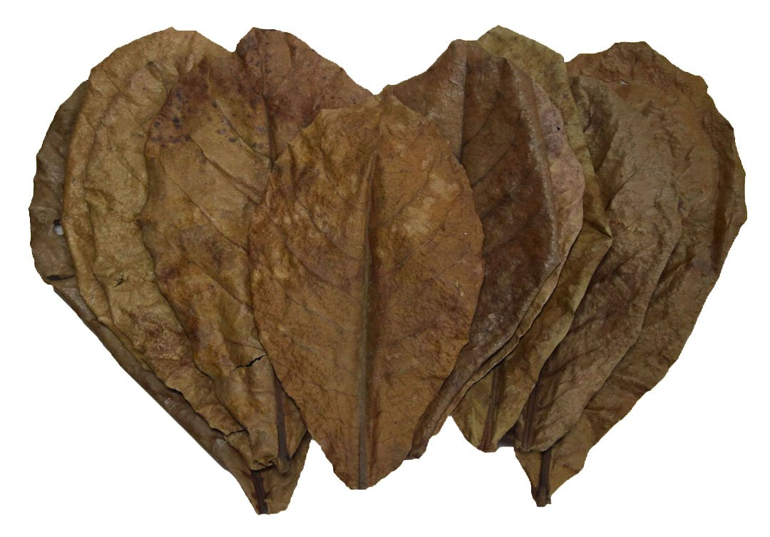 10 Giant Indian Almond Leaves